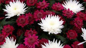 Mums - flower