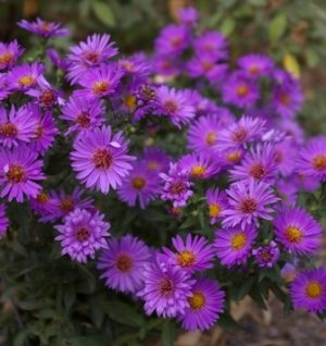 Astor Flowers