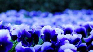 Pansey flowers