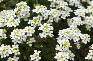 Sweet Alyssum flowers